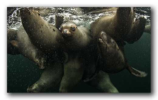 Sea Lions: Sea Dogs on Steroids