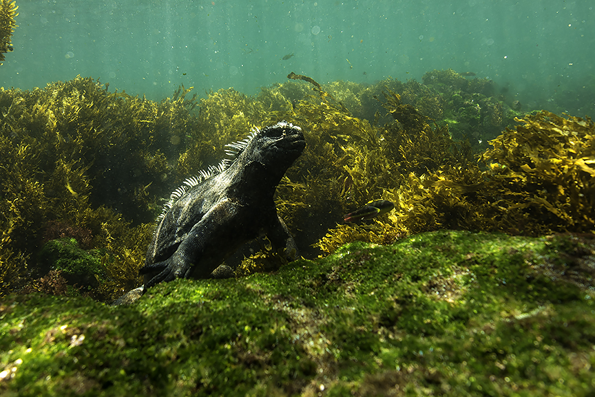 marine iguana 3.jpg