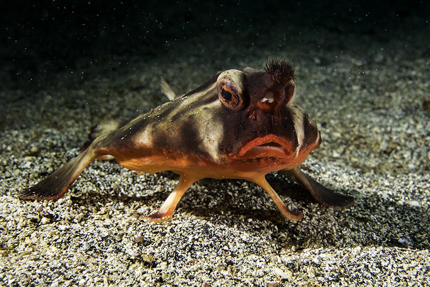 red lipped batfish.jpg