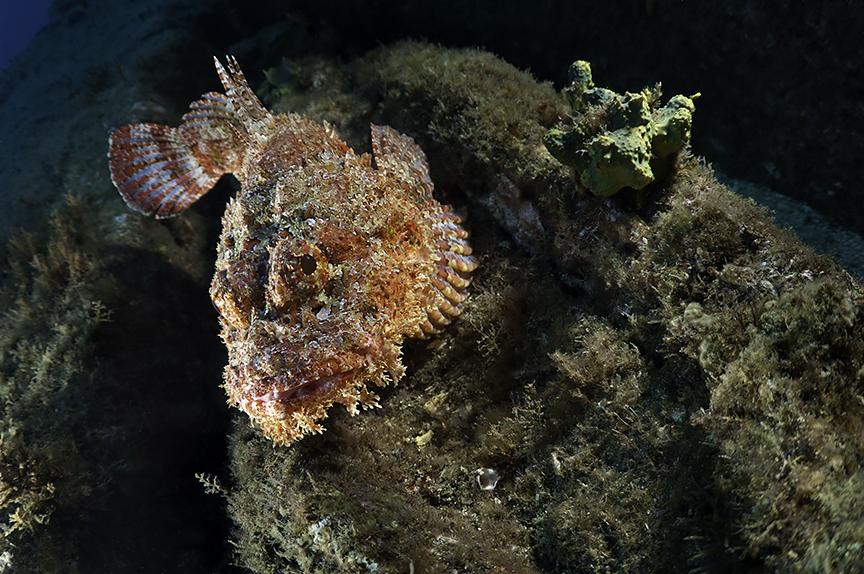 Scorpianfish.jpg