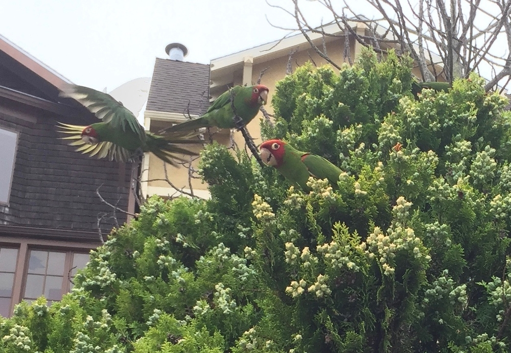 """WILD"" PARROTS OF SAN FRANCISCO, CASTRO DISTRICT"
