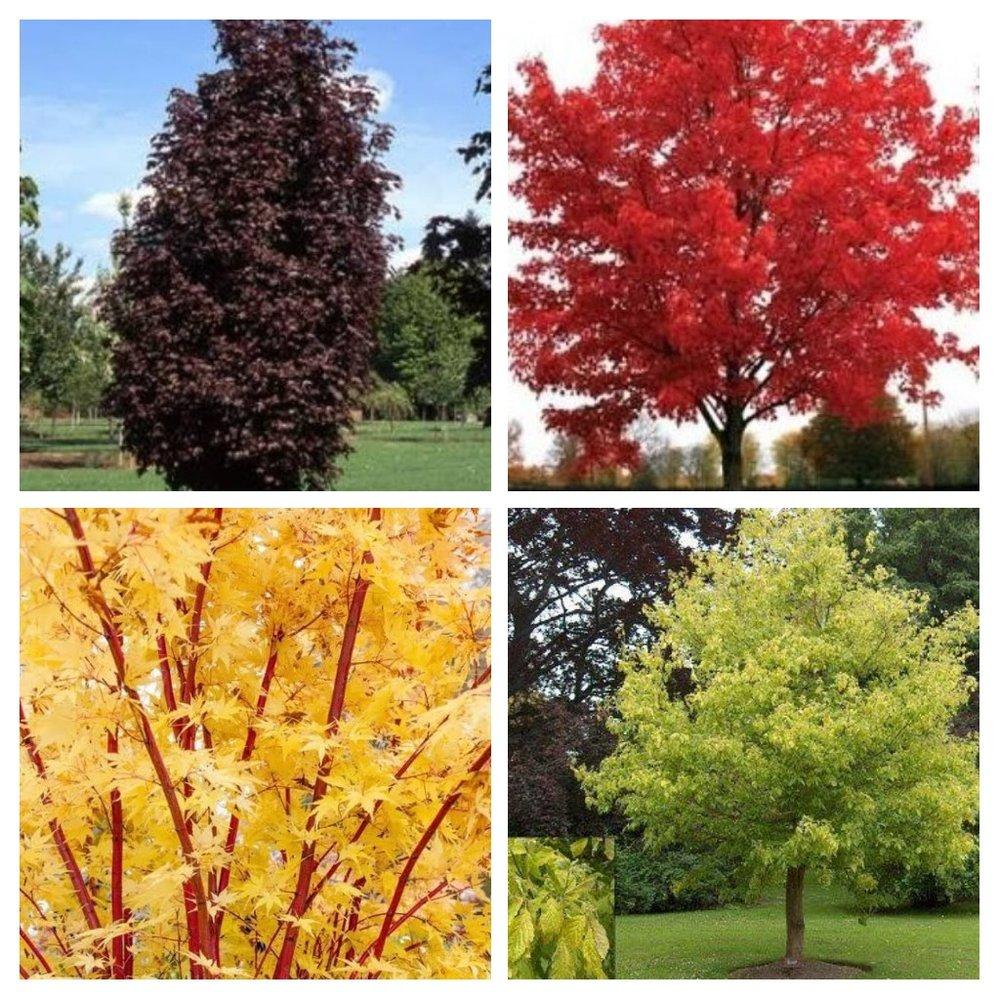 Maples…..clockwise from top left.  Acer platanoides 'Crimson Sentry', Acer rubrum 'October Glory', Acer negundo 'Kelly's Gold', Acer palmatum 'Senkaki'
