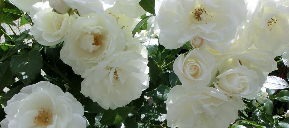 roses-451550-cropped.jpg