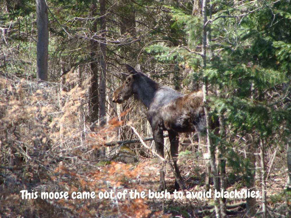 This moose has come out of the bush to avoid annoying blackflies.