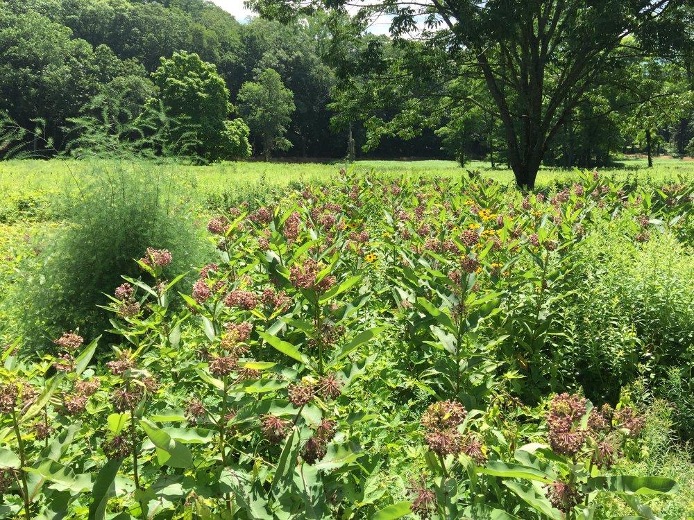Asclepias, milkweed