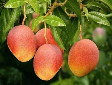 mango tree 2.jpg