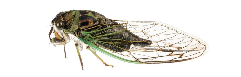 Cicada on white. ©IML