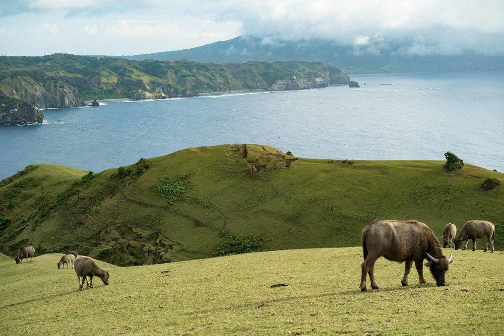 Water buffalos or  carabaos  graze freely on Marlboro Hills, Batanes.