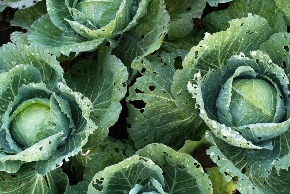 Large cabbages, among other vegetables, grow on fertile Batanes soil.