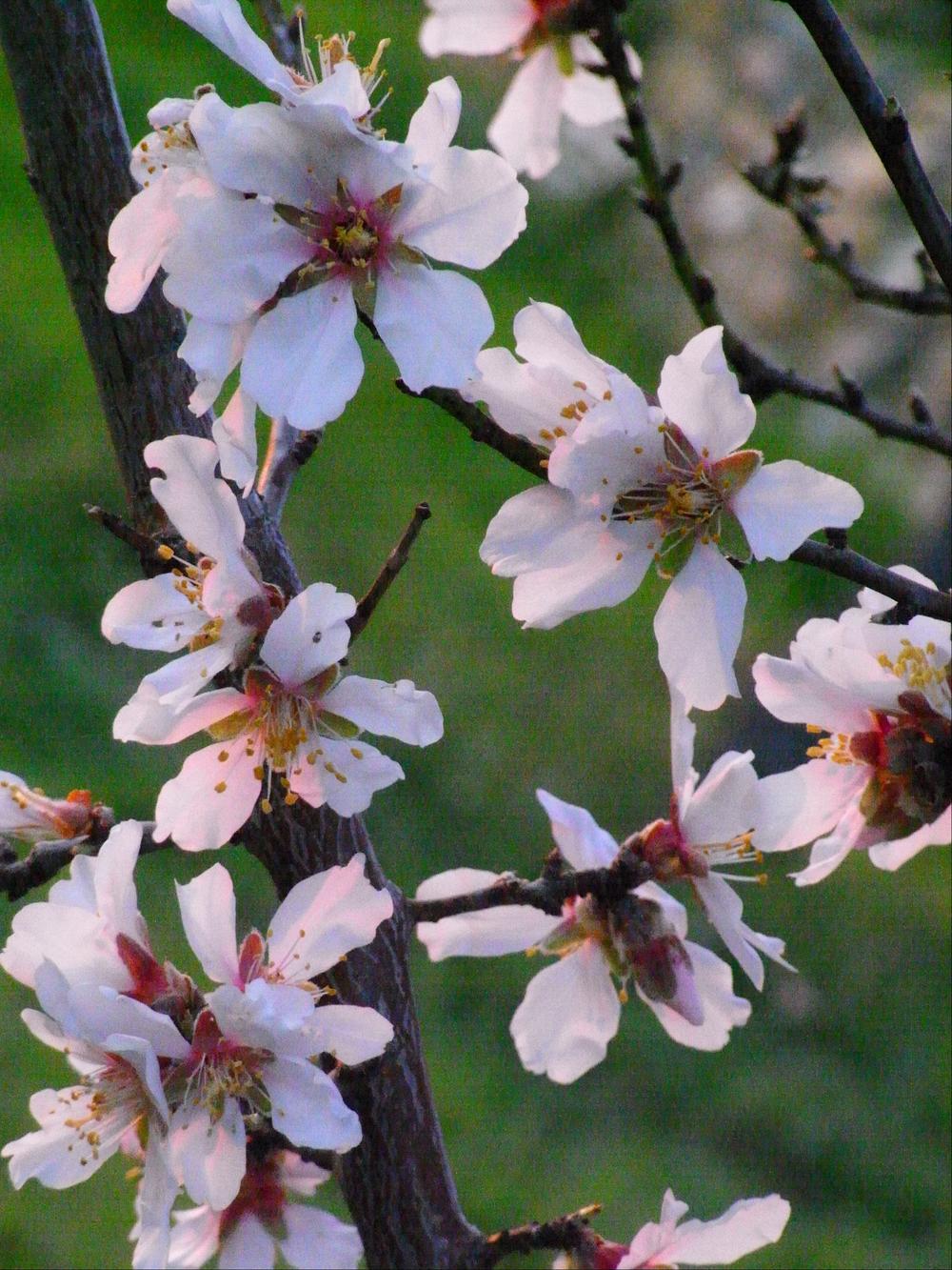 mandelblüte 2:08  1.jpg