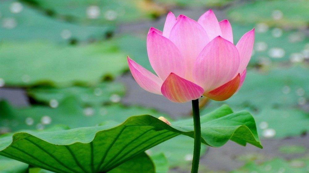 lotus-028.jpg
