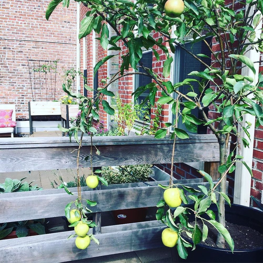 It's not everyday that you get to eat an #apple from your own #appletree! Pretty freakin' cool.  Apples are #1 on the #dirtydozen list, so make sure to purchase local or organic apples to reduce your exposure to #pesticide residue.  #anappletreegrowsinbrooklyn #grateful #bushwick #bushwicknutrition #lazynutrition #lazynutritionist  http://ift.tt/1h3qNrr