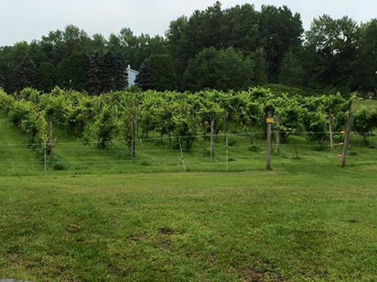 Vineyard-2015.jpg