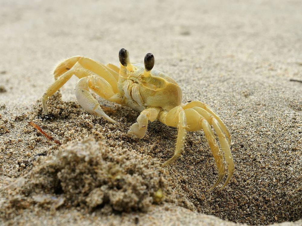ghost crab wikipedia.jpg
