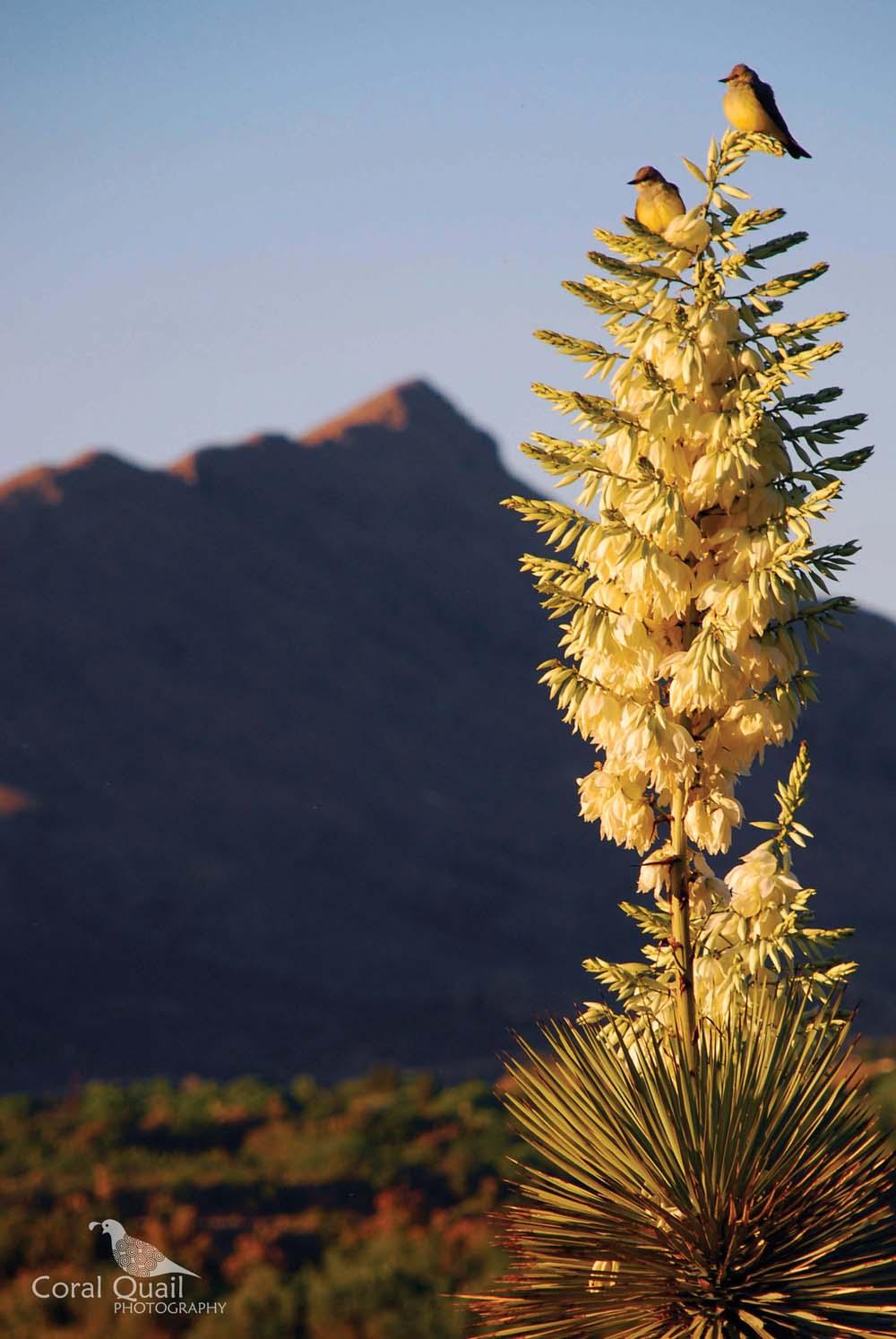 Yucca.jpg