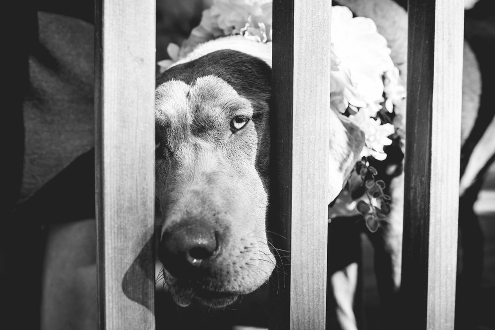 Wedding dog.
