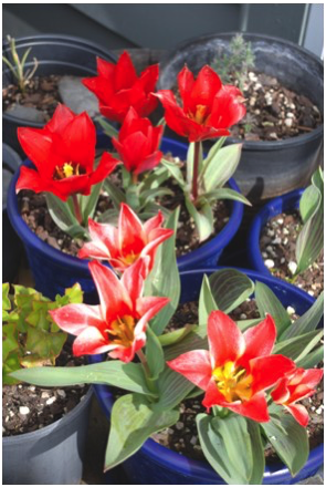 Dwarf tulips perform well on windy balconies