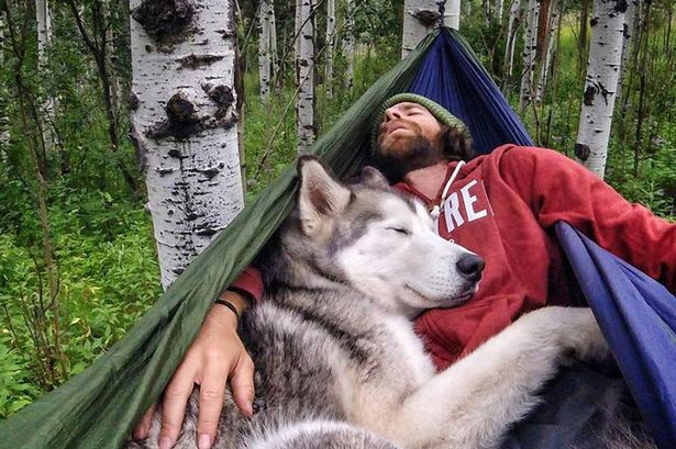Husky in a hammock. Obviously