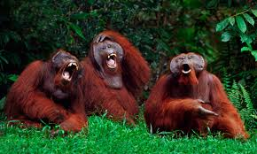 Primates are also known to laugh ... at humans