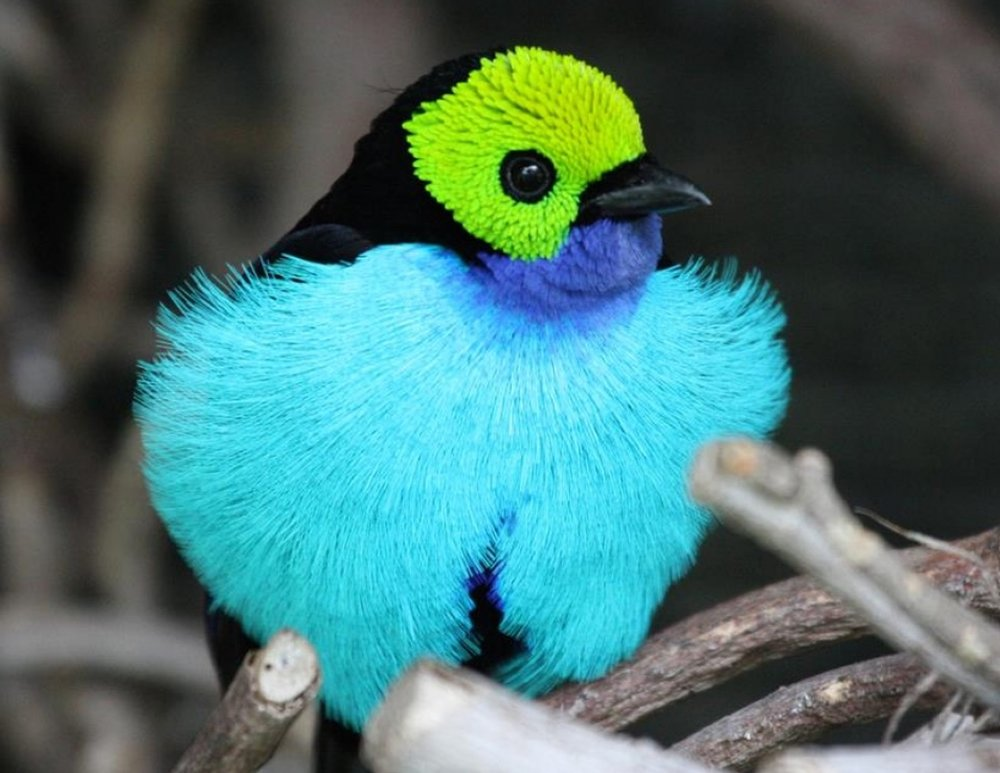 The paradise tanager, an exotic songbird