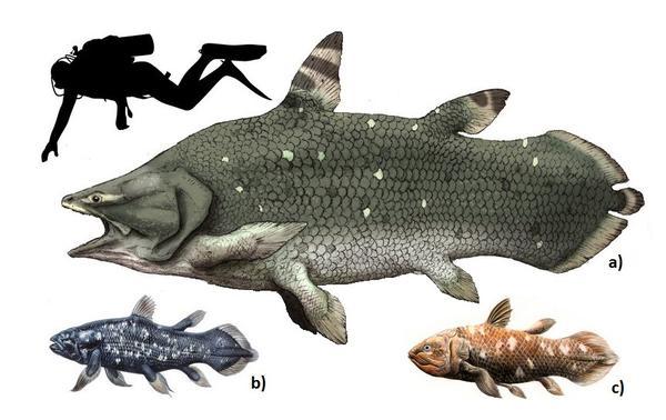 Sticking around -coelacanths