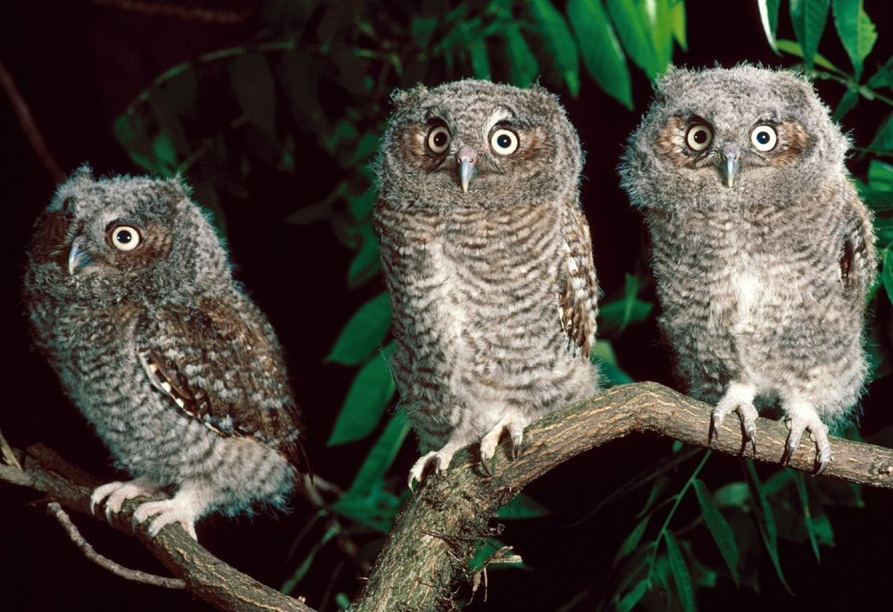 Gratuitous picture of screech owls