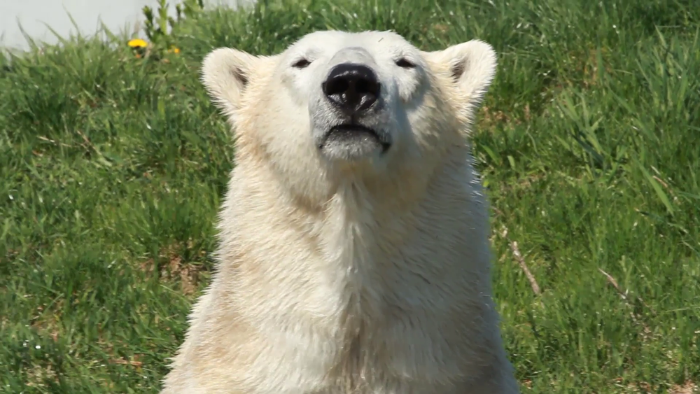 Polar bears, and others from the bear family can sense food from as far as 20 miles