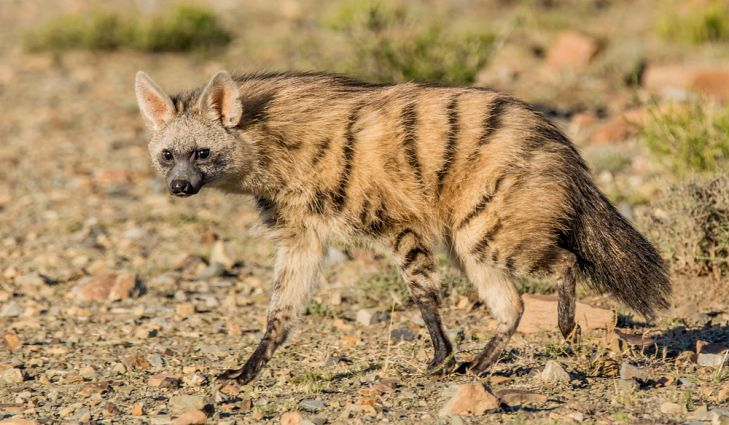 Well 'aard? The insectivore aardwolf