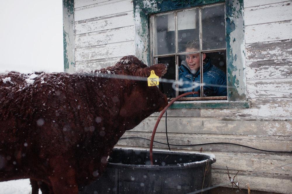 farm-cow-snow-girl-1.jpg