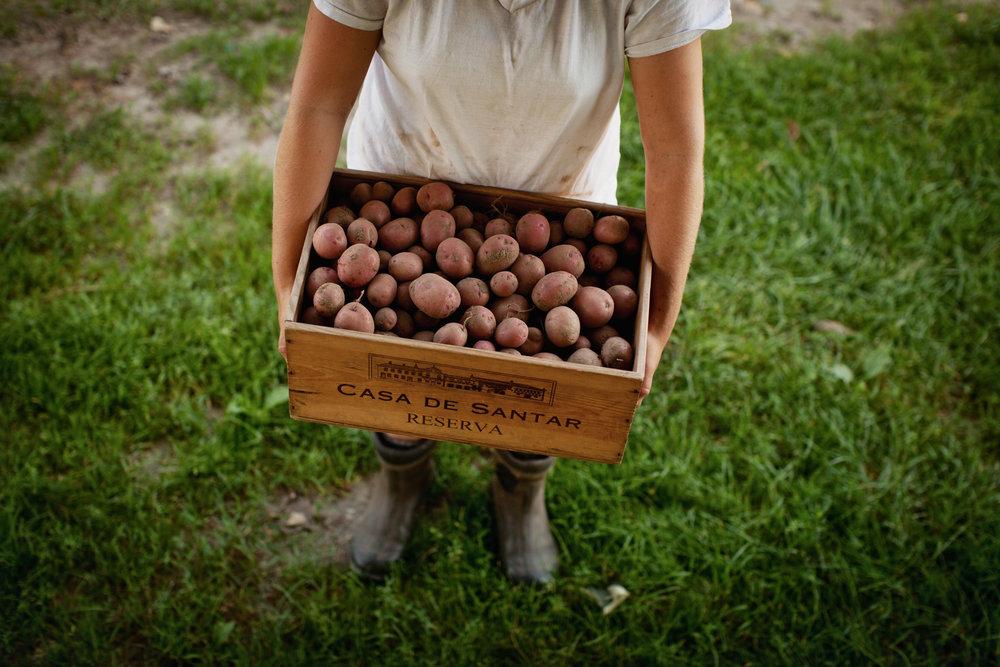 potatoe-harvest-1.jpg