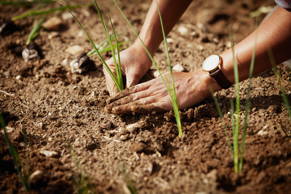 onion-hand-planting-1.jpg