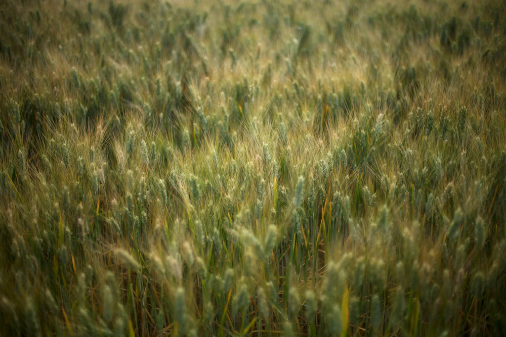 wheat-green-1.jpg