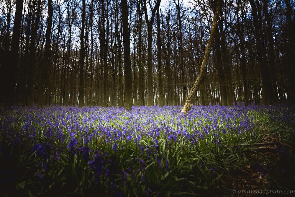 Bluebells Spotlight.jpg