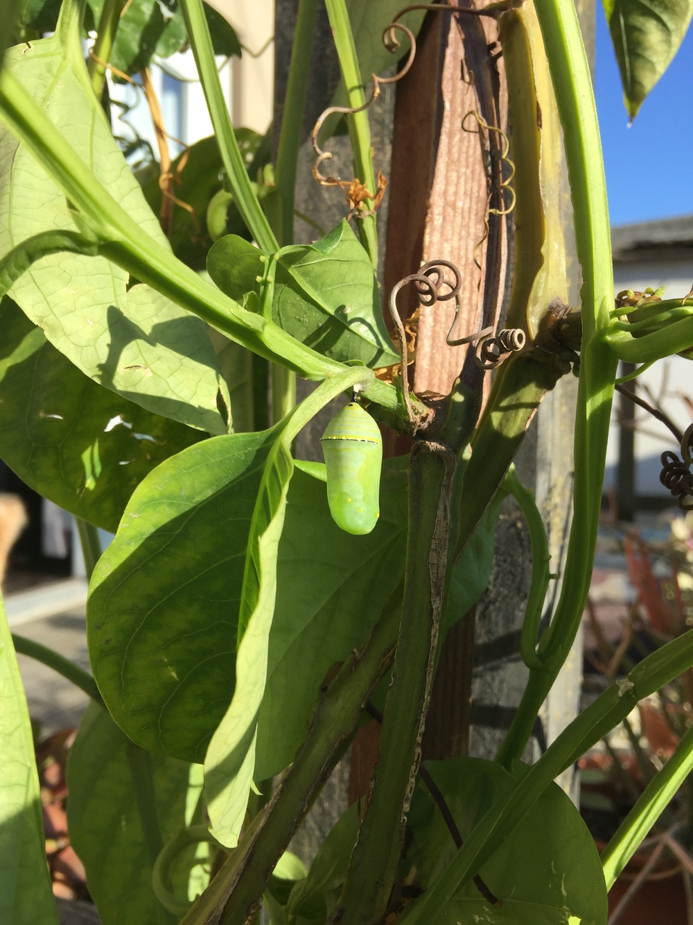 Then one day she appeared in a cocoon on Claude's Passiflora, all the way across the yard!