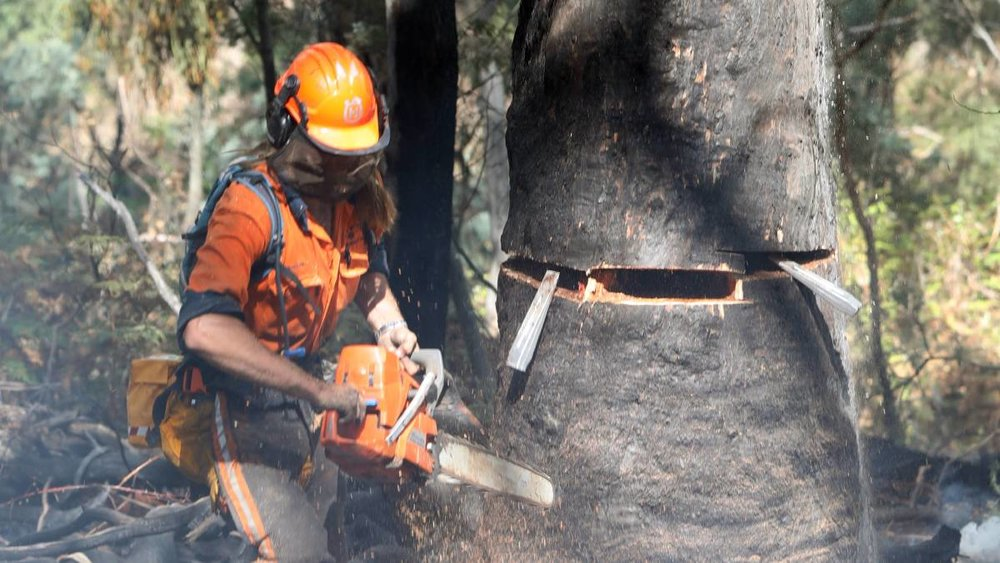 An RFS volunteer fells an unsafe tree at the foot of Mount Canobolas, one of the latest of thousands of fires across the state in the first two months of 2018. Photo: ANDREW MURRAY