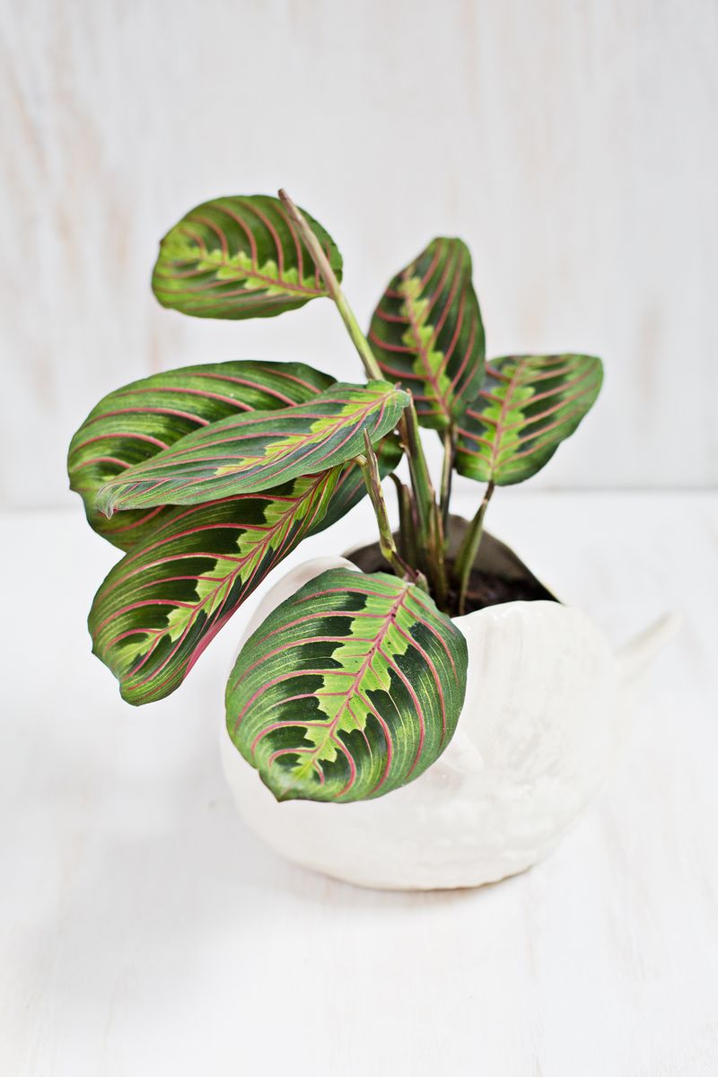 Copy of Copy of Copy of Prayer Plant on Etsy
