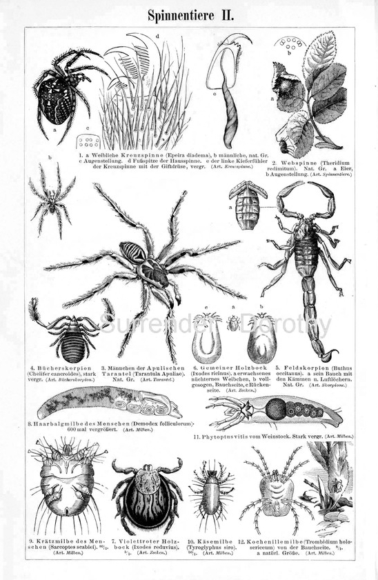Vintage Spiders Scorpions Arachnid Family 1887 Victorian Insects Arachnology Natural History Engraving To Frame Black & White
