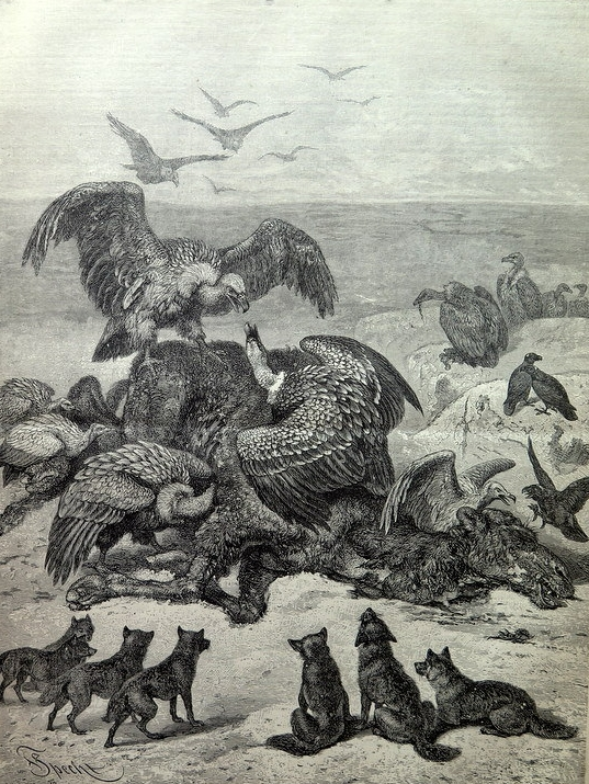 1879 great antique Scavengers animals in the Desert print, oddity vultures wolves engraving, big dimensions camel wolf plate illustration.