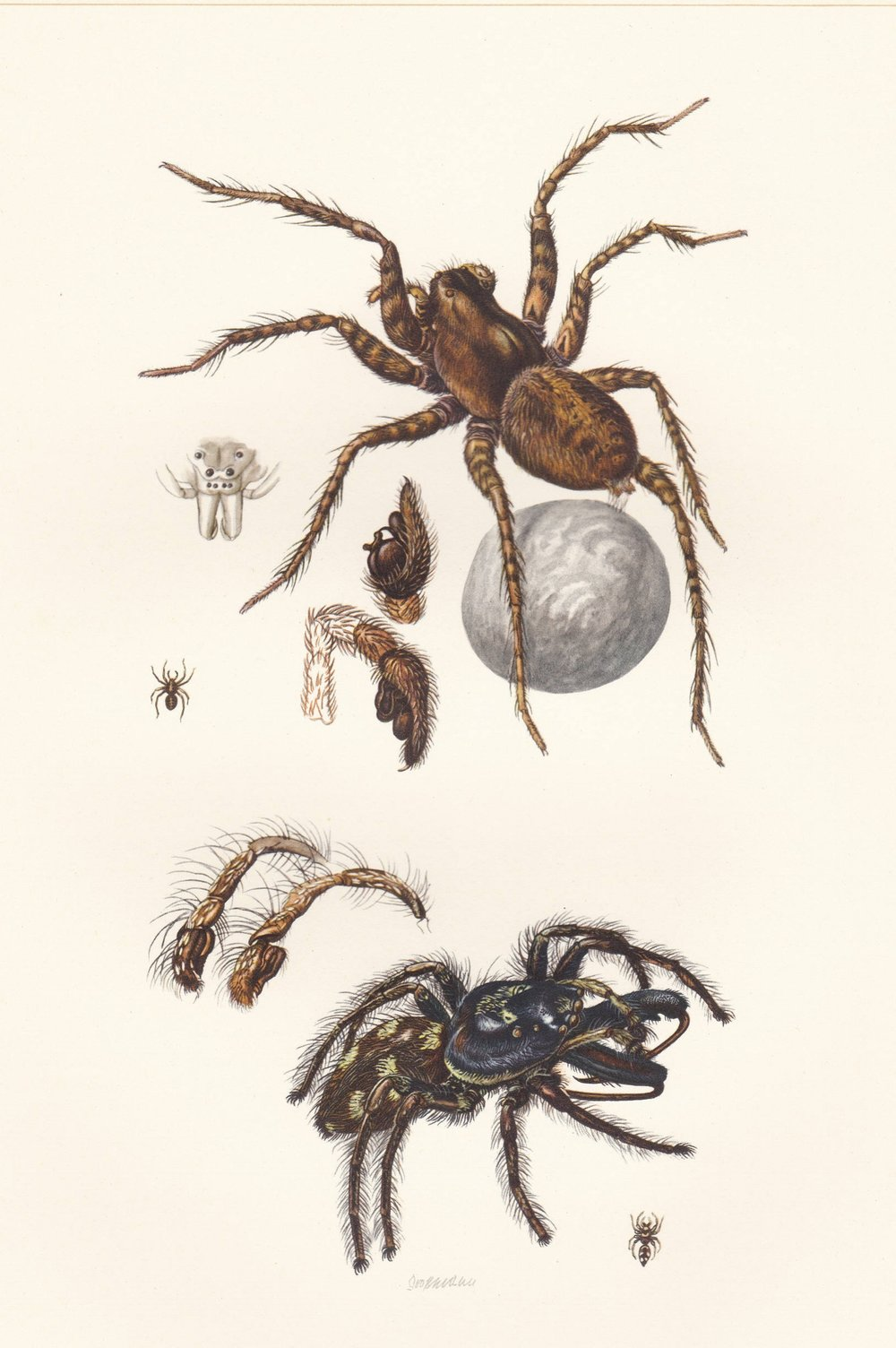 Vintage lithograph of the zebra spider and the wolf spider from 1956