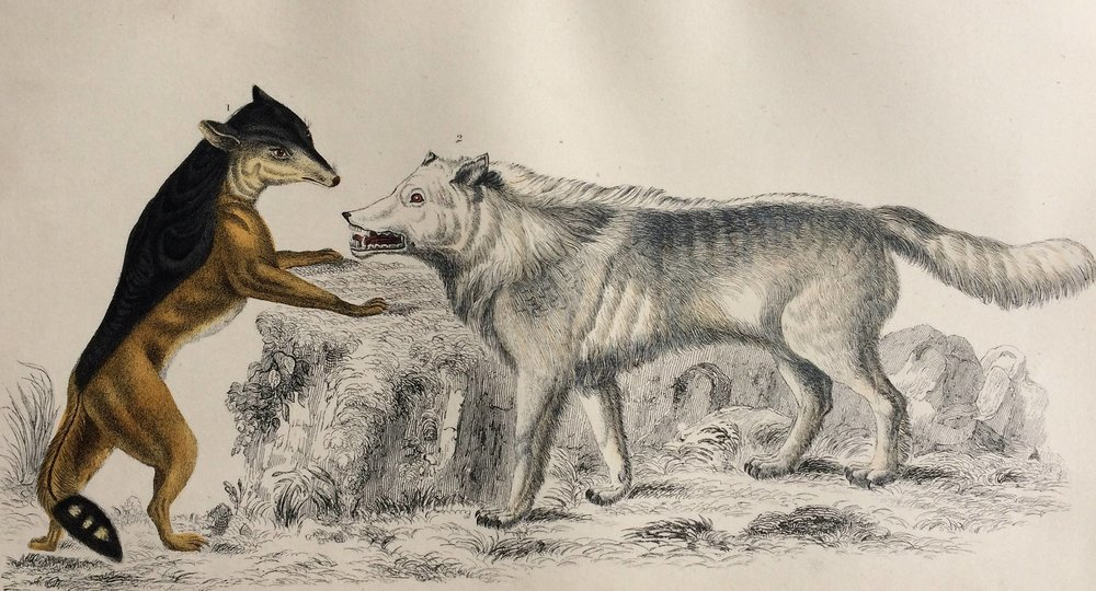 1852 Original Antique Hand-Coloured Engraving - Cape Jackal & American Grey Wolf - Canine Decor - Natural History - Decorative Print