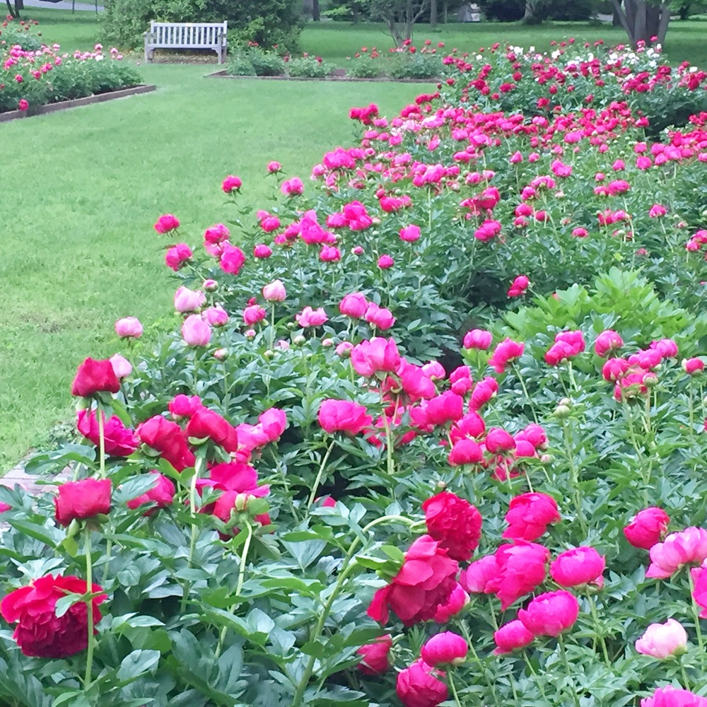 Ashland Park Peony Garden (AKA - Laura's Happy Place in April and May)