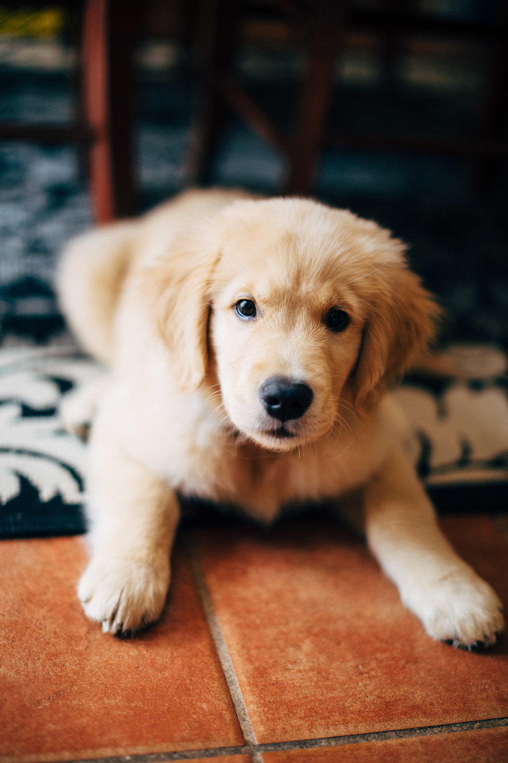 Henry the Golden Retriever Puppy lifestyle pet photography