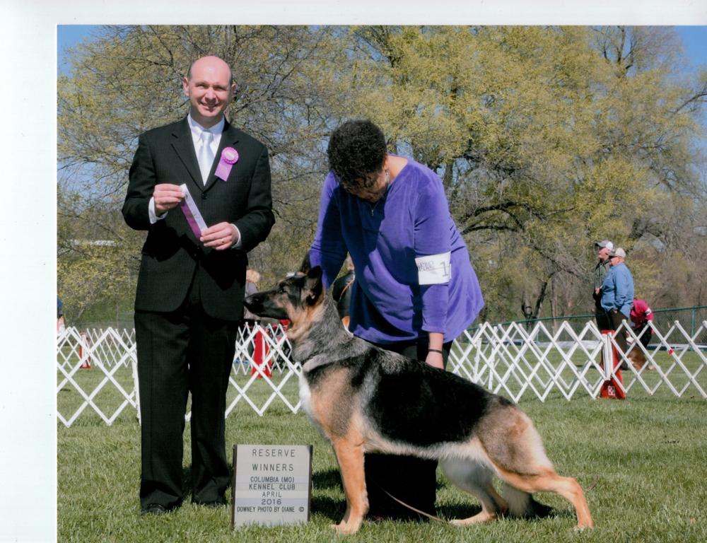 Sally Hamm's Hillside-Tanbark Heidelburg Tiger Eye, TD,BN, CGC, added a major reserve to her resume April 2 at Purina Farms. Heidi's handler was Tiffany Bartley.