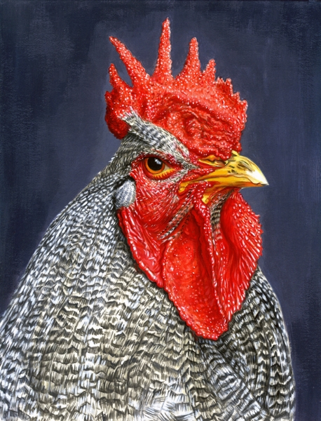 Barred Plymouth Rock Chicken