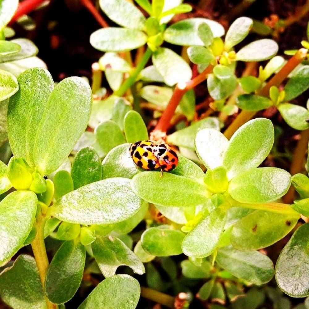 ladybugs-in-purslane.jpg