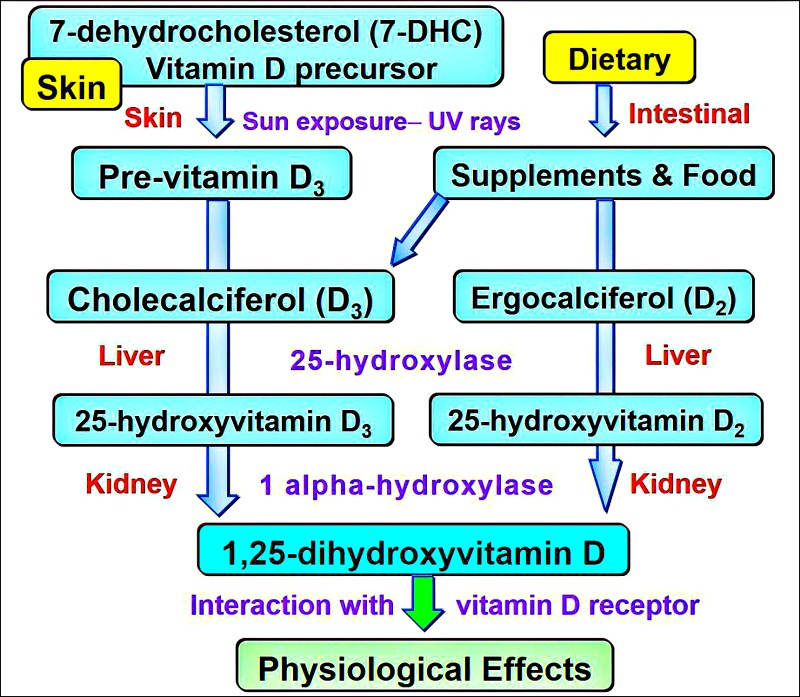diagrams reproduced from: S.J. Wimalawansa, Non-musculoskeletal benefits of vitamin D, J. Steroid Biochem. Mol. Biol. (2016):   https://www.sciencedirect.com/science/article/pii/S0960076016302527?via%3Dihub