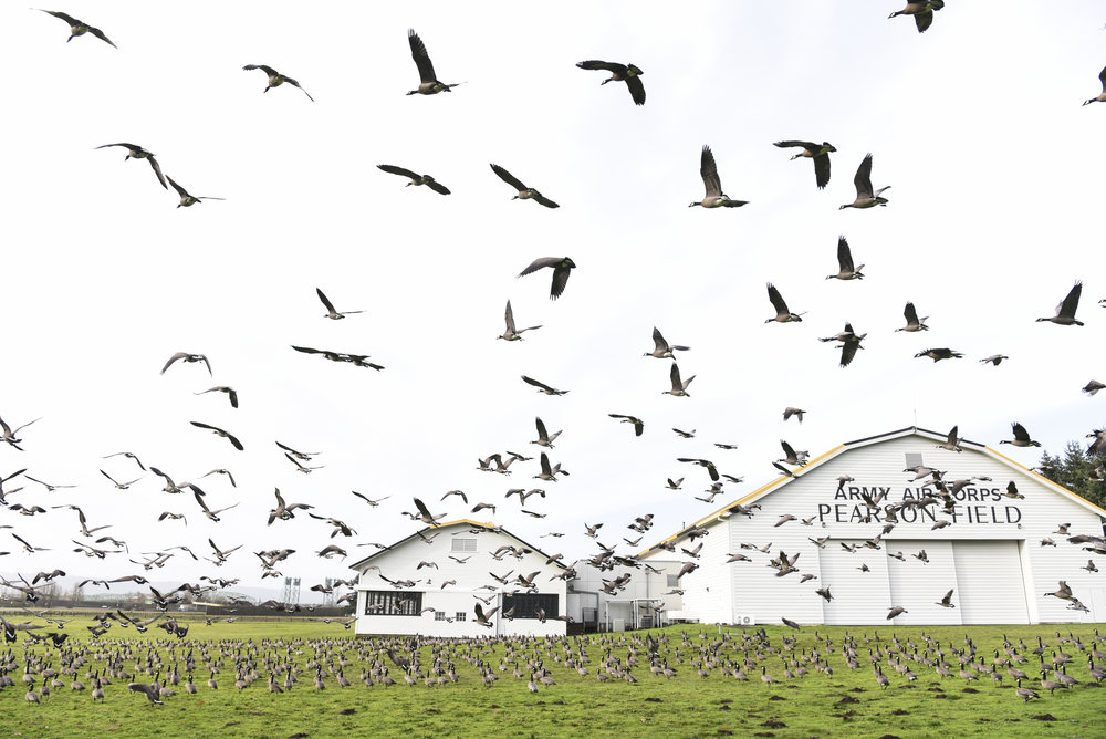 A skein of geese takes flight from the Fort Vancouver National Historic Site on the east side of the Pearson Air Museum, Tuesday December 20, 2016. (Ariane Kunze/The Columbian)