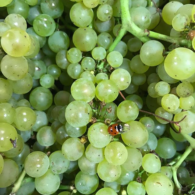 We're adding a white wine to our line up. Can you guess the varietal? 🍇 🍇 #radunariwines #vintage2017 #sonomacoast