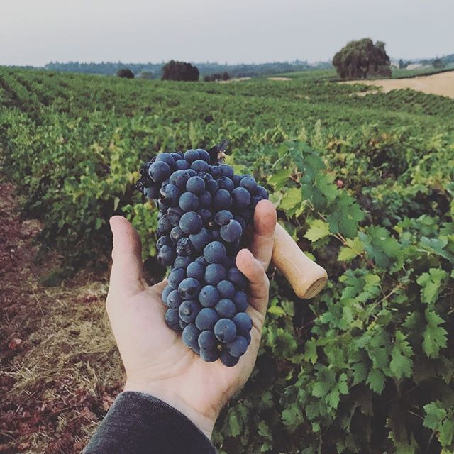 In case you missed #ZinDay, here's a peek at our harvest this year from Amador County #zinforthewin #zinfandelgrapes #vineyardviews