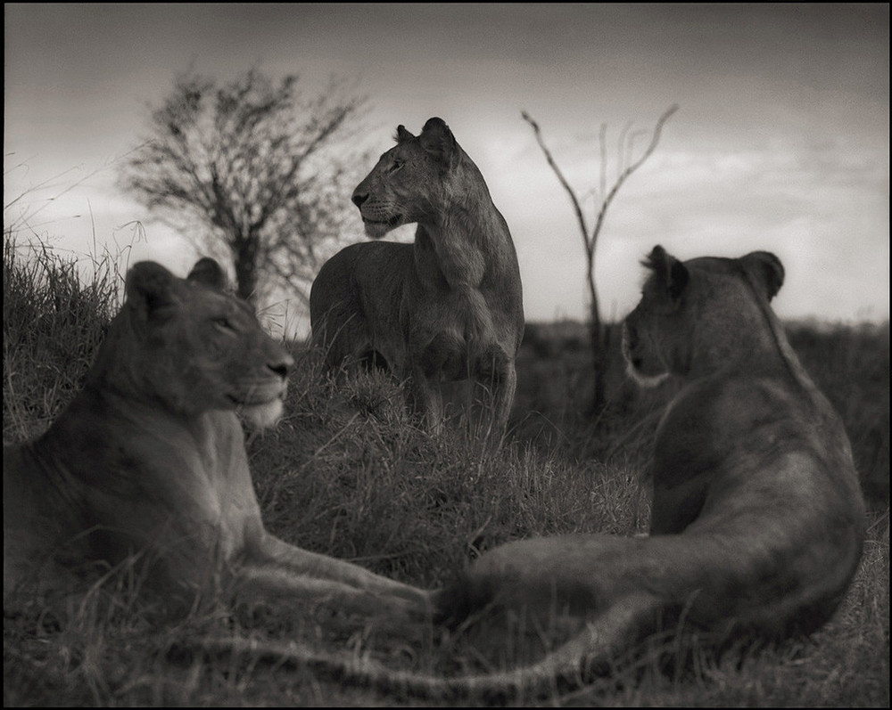Lion_Circle_15inW_1024x1024.jpg